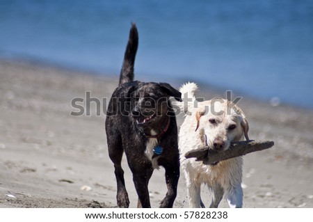 Two canine friends playing with a stick together at the beach along the ocean shore on a beautiful sunny day.