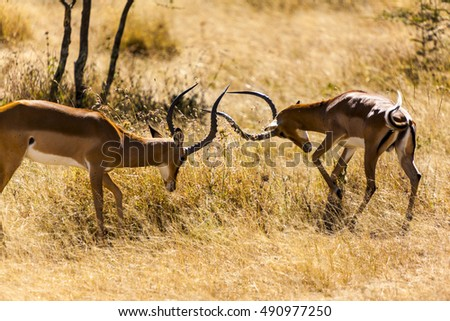 Two capital size male impala antelope  (Aepyceros Melampus)  sparring over territory   Tanzania   Africa