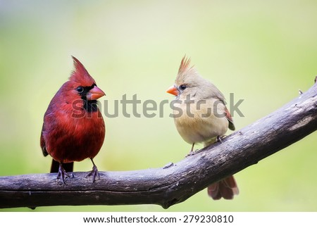 Two cardinal love birds perched on a tree limb, both the male and the female in the springtime.  - stock photo