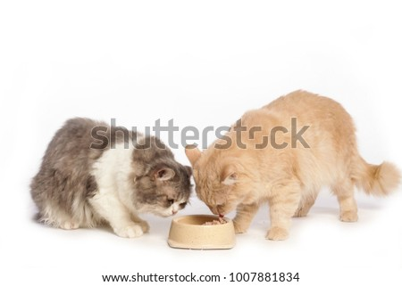 two cat eating food from front view