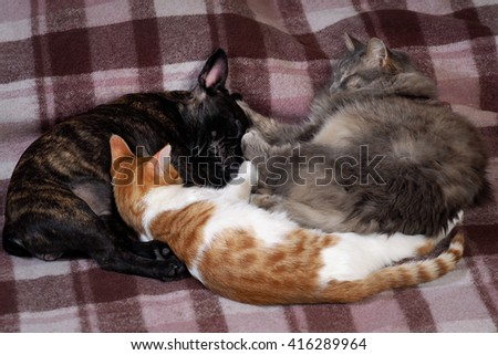 Two cats and a dog and sleep together. different cats - a gray fluffy, large and small Siberian cat, white with a red cat. Pets sleep on the plaid. Dog black French bulldog