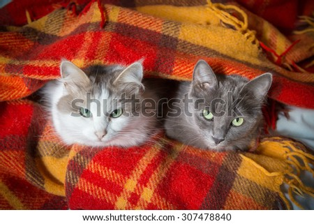 two cats sitting under orange plaid and looking to camera - stock photo