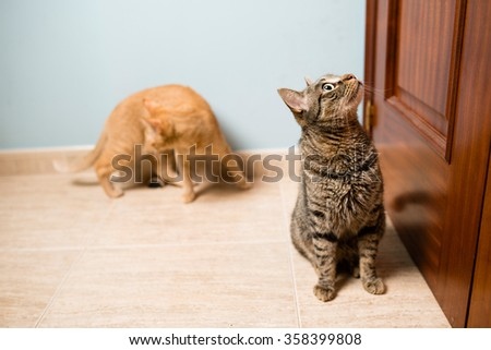 Two cats waiting to its owner open the door at home, Spain