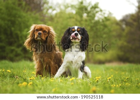 two cavalier king charles spaniel dogs - stock photo