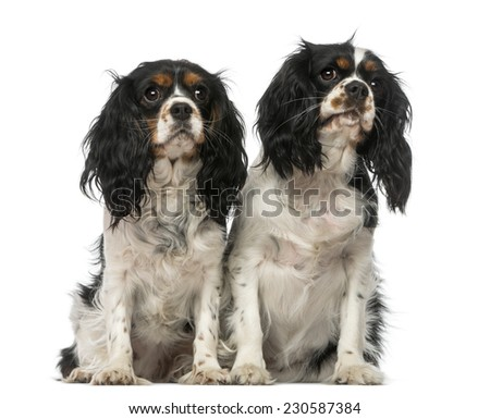 Two Cavalier King Charles Spaniels - stock photo