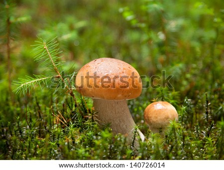 Two ceps (Boletus edulis ) with dew drops in the forest. very shallow depth of field