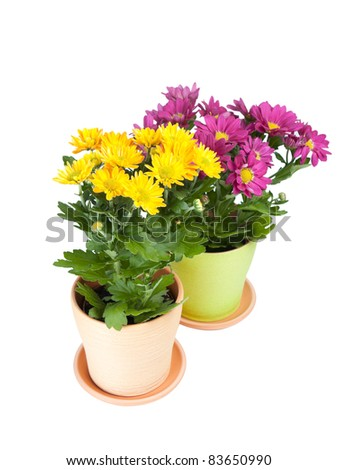 two ceramic pots with chrysanthemum . isolated on white