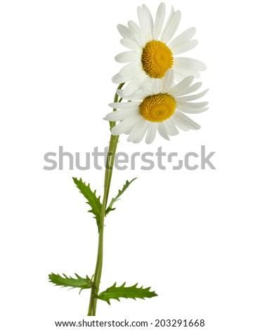 two chamomile flower isolated on white  - stock photo