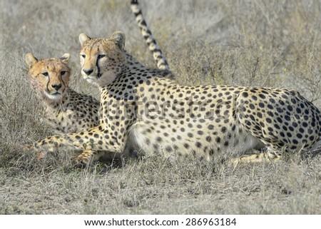 Two Cheetah (Acinonyx jubatus) on savanna, cleaning each other after eating prey, Serengeti national park, Tanzania. - stock photo