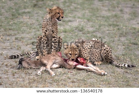 Two cheetah cubs feeding on a wildebeest yearling - stock photo