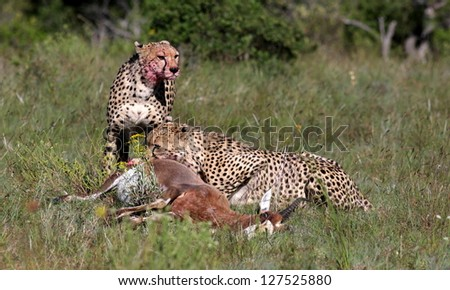 Two cheetah feeding on a fresh blesbuck kill on safari in South Africa - stock photo