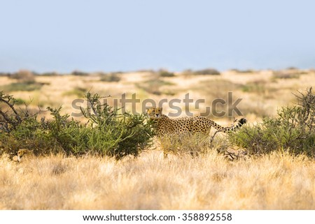 Two cheetah in the grasslands of Solitaire, Namibia, Africa - stock photo