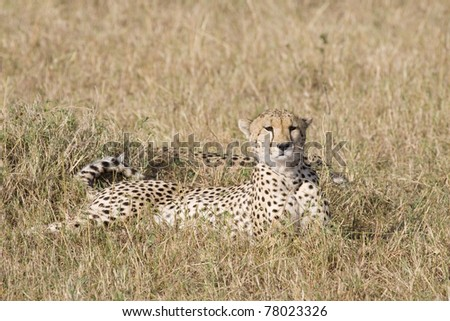 Two cheetah relaxing in the afternoon in the Masai Mara. - stock photo