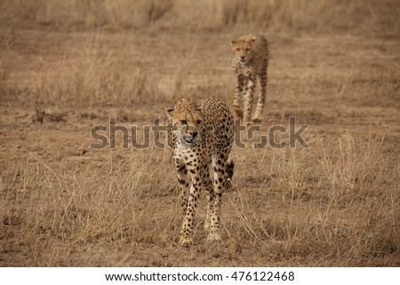 Two cheetahs stalking prey behind the safari van. Shot in Amboselli, Kenya.