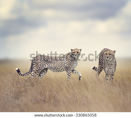 Two Cheetahs Walking In Tall Grass - stock photo
