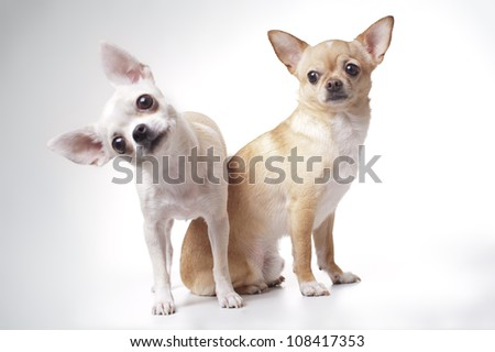 two Chihuahua dog on white background