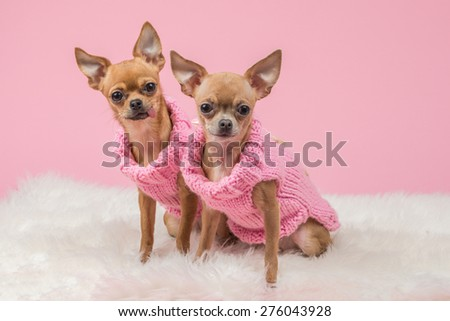 Two chihuahua dogs dressed in pink knitted sweaters at a pink background - stock photo