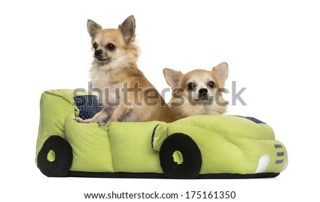 Two Chihuahua dogs in a car-shaped bed, isolated on white.