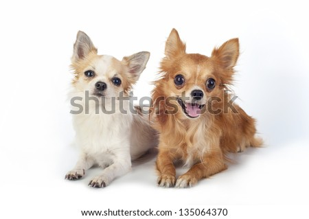 two chihuahua   dogs lying down on white background looking at camera