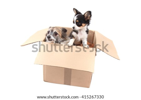 two chihuahua in the paper box isolated on the white background - stock photo