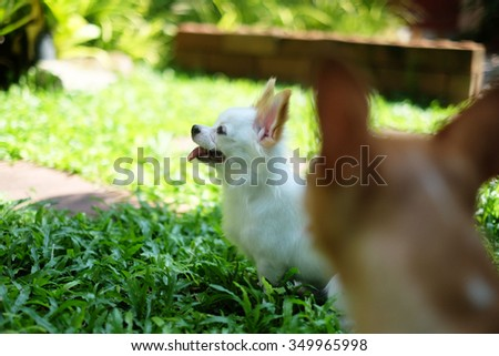 two Chihuahua in the park  - stock photo