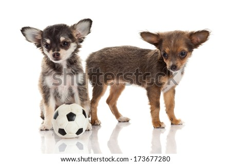 Two chihuahua puppies. - stock photo