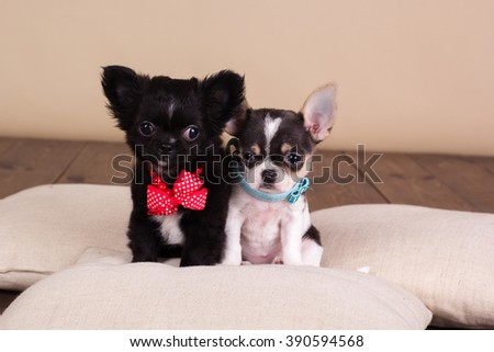 Two chihuahua puppies are wearing dog-collar - stock photo