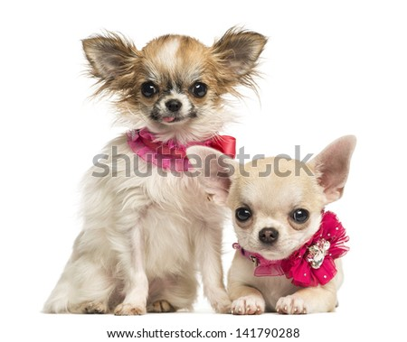 Two Chihuahua puppies with bow collars, isolated on white - stock photo