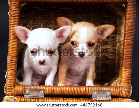 Two Chihuahua puppys play to cart on black background