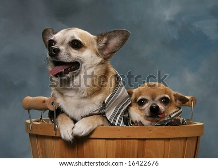 Two Chihuahuas in a basket