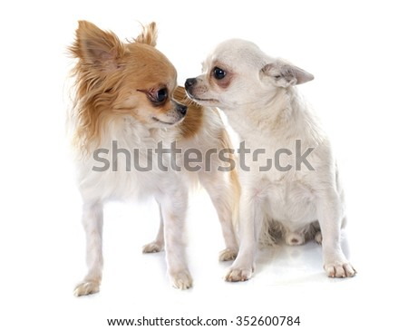 two chihuahuas in front of white background - stock photo