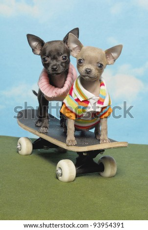 Two Chihuahuas on a Skate Board - stock photo