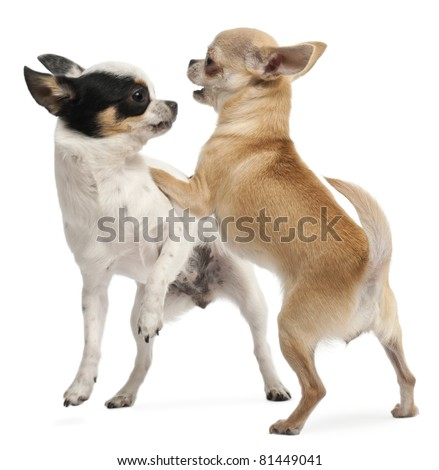 Two Chihuahuas playing in front of white background - stock photo