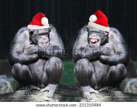 Two chimpanzees have a fun on christmas party in african rainforest. - stock photo