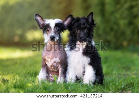 two chinese crested puppies sitting outdoors