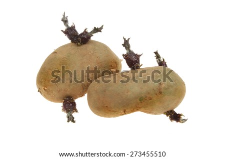 Two chitted seed potatoes isolated against white - stock photo