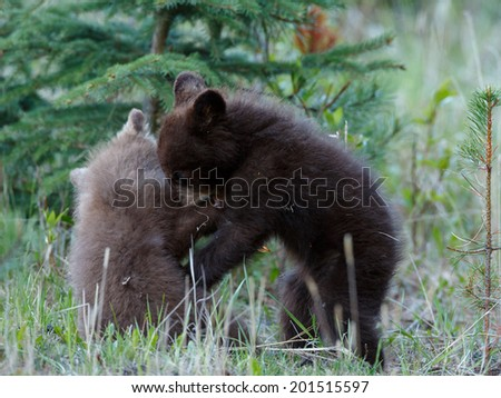 Two Cinnamon black bear cubs playing