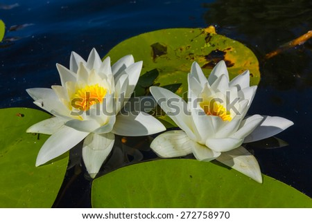 two closeup white lilies - stock photo