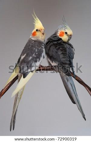 two cockatiels pet birds - stock photo