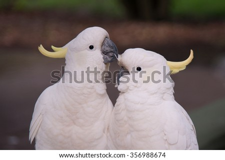 Two Cockatoos in love - stock photo