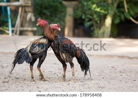 Two cocks or roosters fitted with metal gaffs on their legs fighting in a cockpit, a popular spectator blood sport - stock photo