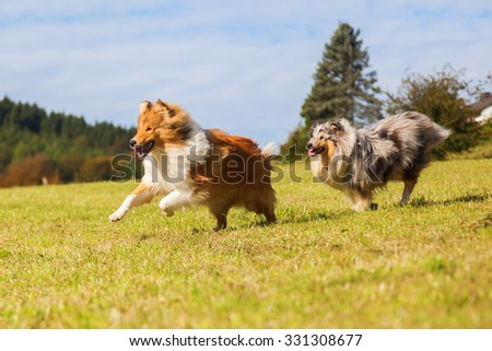 two Collie dogs running on the meadow