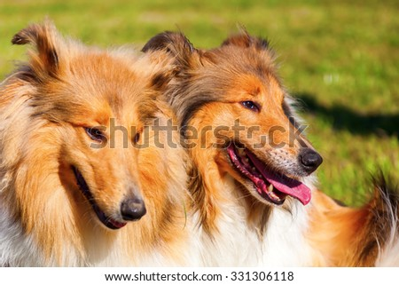 two Collie dogs side by side