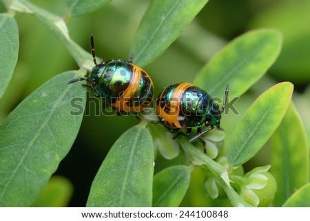 Two Colorful baby Shield Bug - stock photo