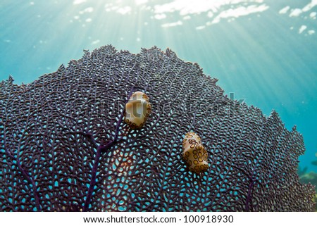 Two colorful little gastropods on a fan coral in the Caribbean.