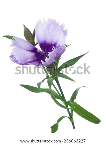 two colors carnation isolated on white background