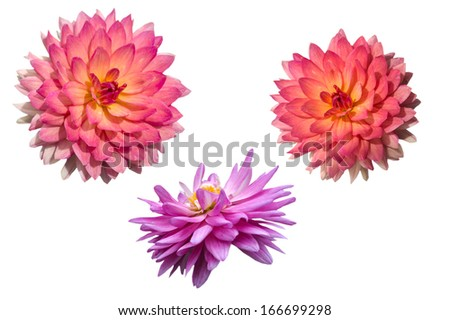 Two colors of Dahlia on white background