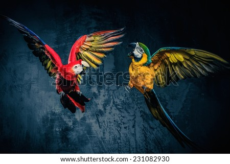 Two colourful parrots fighting  - stock photo