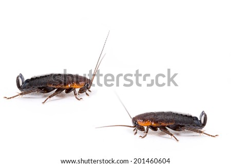 Two common black cockroaches, roaches on white. Profile. Health risk, thrive in filth. - stock photo