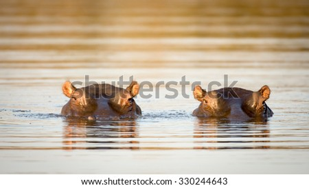 Two common hippopotamus in the water at a watering hole in Kruger National Park, South Africa